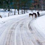 Rådyr og mørke veje giver flere ulykker op til jul